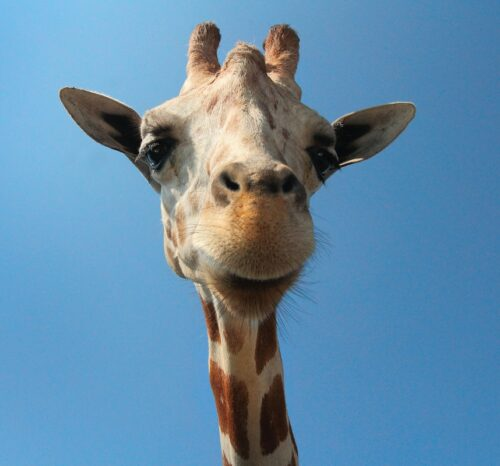 Compelling video ads: image of a giraffe's face